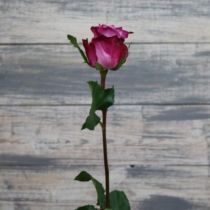 Роза Дип перпл 70-80 см (Голландия)