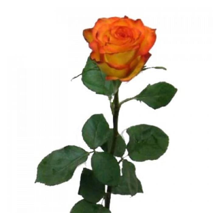 Роза Циркусс 80-90 см (Голландия)
