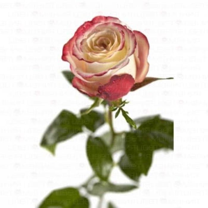 Роза Свитнес 80-90 см (Голландия)