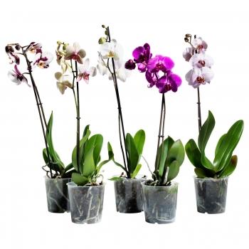 Орхидея одностволовая