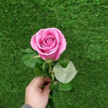 Роза розовая Аква 50 см (Россия)