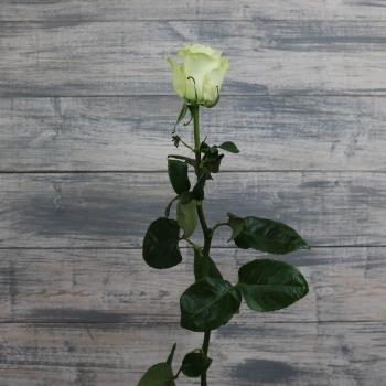 Белая Роза 80-90 см (Голландия)